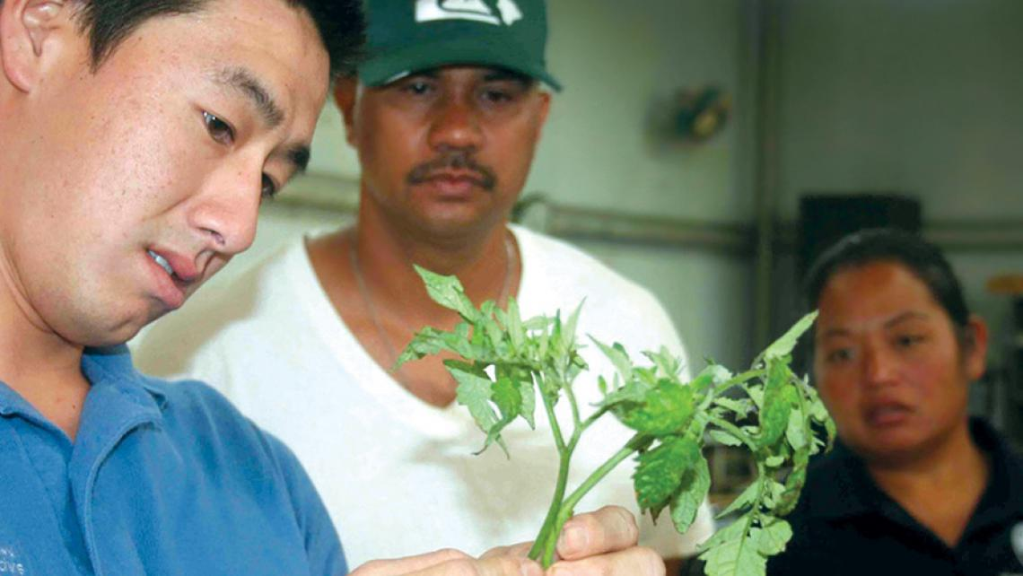 College of Tropical Agriculture and Human Resources Extension staff Jensen Uyeda, left, examines a tomato plant.