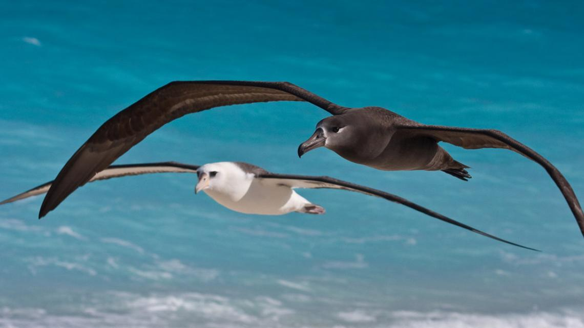 black footed and laysan albatross