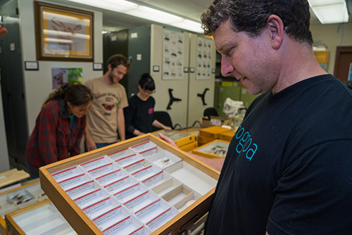 Dr. Daniel Rubinoff, UH Insect Museum director, looks at a drawer of holotypes of many insect species first described by UH researchers