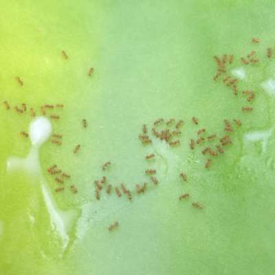 Banding Together to Combat Little Fire Ants